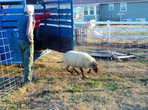 The ram leaps back out from trailer.