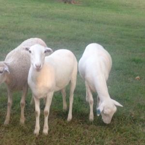 Royal White ewes